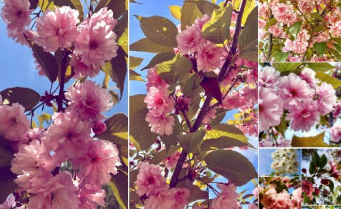 Bahar geldi Kiev'de sakuralar açmaya başladı, Kioto Parkı keşfedilmeyi bekliyor