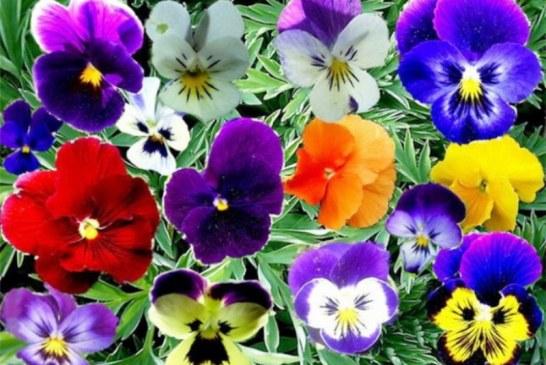Baharın tüm renkleri burada, Zooloji Müzesi'nde menekşe festivali