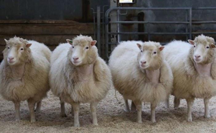 Ukraynalı bilimadamları geliştirdi, 120 kg'ye ulaşan koyunlar tarım fuarında sergilendi