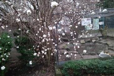 Kış ortasında bahar, Lviv'de ağaçlar çiçek açtı