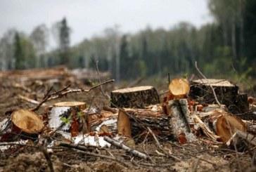 Ukrayna akciğerlerini kaybediyor, kaçak ağaç kesimi bir yılda yedi kat arttı